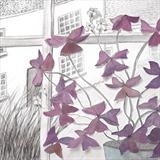Oxalis-in-window
